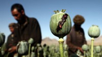 Opium plantation in Afghanistan