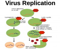 Virus replication peculiarities