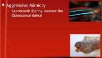 Aggressive mimicry by Sabretooth Blenny